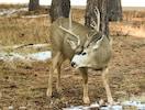 Mule Deer in Front Yard