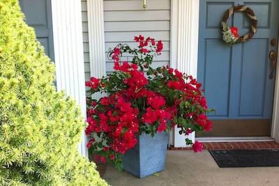 The home is themed with tropical plants including this bougainvillea.