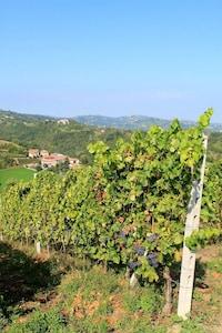 Our vineyard, Bonarda grapes ready to pick.