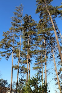 View of tall pines on lake