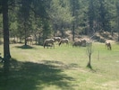 A herd of elk stopping to graze in the yard as they pass through.