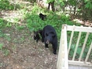 Our guests enjoy seeing Momma Bear & her cubs strolling through our backyard