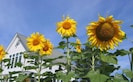 We grow sunflowers for  fun -- this is not a working farm.