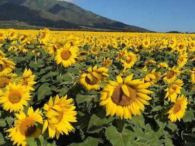Beautiful sunflower fields
