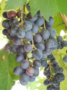 The grapes are almost ready for harvest!