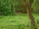 Roe deer in garden