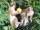 Watch the wild monkeys feeding in our gardens