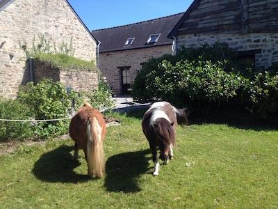 Les poneys retraités chargés de la tonte