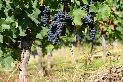 Les vignes à Margueron