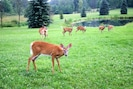 Deer in backyard by pond w/rowboat, hiking trails
