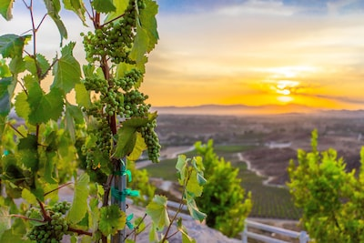 August is season for grapes / view from Villa's vineyard.