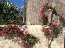 Roses scrambling over the wall by the solar powered shower