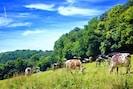 The Dairy Herd in the surrounding fields.