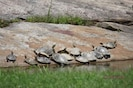Did you know a large group of turtles is called a bale