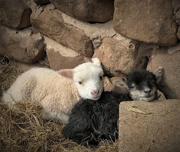 Lambs in the spring...