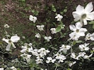 Dogwoods in bloom at the cabin.