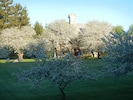 A perfect morning in May.  Apples trees in full bloom
