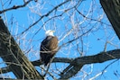 january-2014-bald eagle on riverr