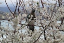 Kereru in plum tree