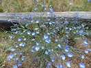 Blue flax in bloom