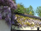 The lovely Wisteria in springtime.