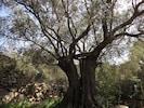 Schaukel und Baumhaus im 750 Jahre alten Olivenbaum