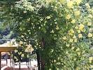 romatische Blütenpracht der Rosenpergola