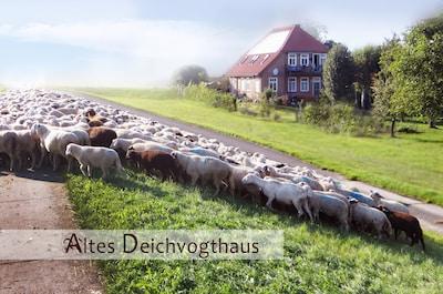 Schafe am Deich