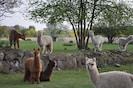 Blick von der Terrasse auf Alpakas (nicht immer)