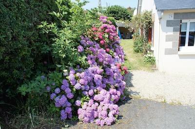 allée d'hortensia en juillet