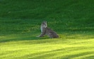 Bobcat on our Fairway
