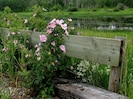 The wild Alberta roses grow randomly right by the lodge and all along the road.