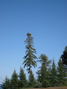 Bald Eagle living on the property