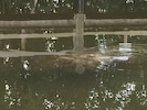 A guest shared these pics of manatees she saw from the dock.  Dolphin pics below