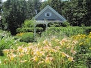 Day Lilies in July