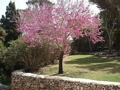 JUDAS TREE - first flowers then the leaves