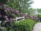 Beautiful rhododendron at the top of the driveway
