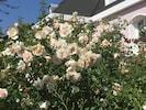Rosenbeet vor dem Haus