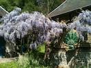 La glycine en fleurs.