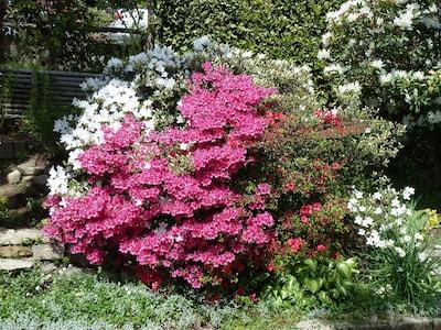 Im Frühling blühen die Azaleen, Rhododendren....