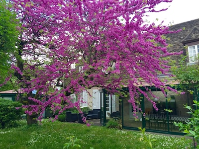 L'arbre de Judée en fleurs, côté jardin