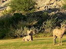 Big Horn Sheep on the golf course. Amazing site.