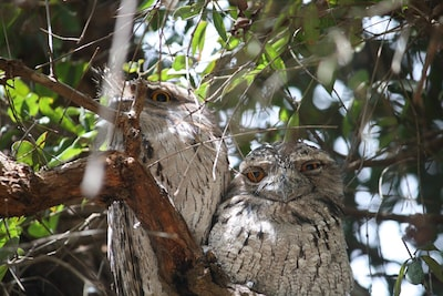 Our sometimes elusive but always fascinating Family of Tawny Frog Mouths
