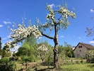 Our blooming apple tree