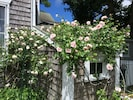 The toolshed covered in summer blossoms