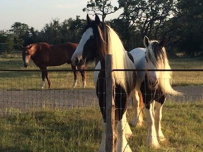 Horses on property