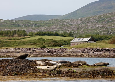 Seals on rocks near Pier Cottage