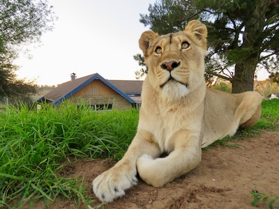 Lexi - the alpha female from The House pride lives next to Lion Lodge