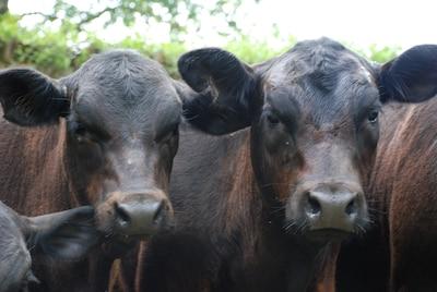 Welcoming Committee, KK Brangus heifers