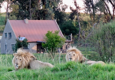 Lion House the backdrop to the majesty of Prince Shadow & Prince Chance.